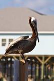 Grand oiseau de Brown Photo libre de droits