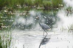 Grand oiseau de héron dans le courant de champ Photo libre de droits