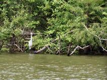 Grand oiseau de héron dans le lac san Rayburn Photos libres de droits
