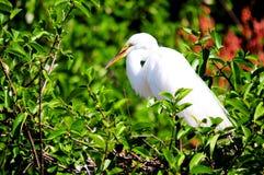 Grand oiseau de héron dans le plumage d'élevage en Floride Images stock