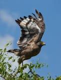 Grand oiseau prédateur à l'heure de décollage Le Sri Lanka Photos stock