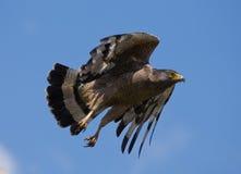 Grand oiseau prédateur à l'heure de décollage Le Sri Lanka Images libres de droits