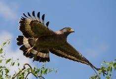 Grand oiseau prédateur à l'heure de décollage Le Sri Lanka Image stock