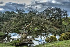 Grand old gum. A mystical gum tree on the shore of a creek Stock Images
