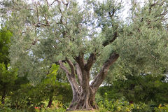 Grand old olive tree. Very old and beautiful olive tree in a garden setting Stock Images