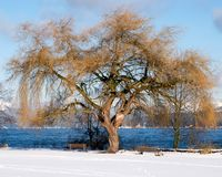 A grand old tree provides a magnificent foreground with snow and blue waters beyond. Large gold colored tree branches form important elements as snow covers the royalty free stock photo