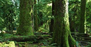 Grand old trees. West coast forest of majestic old mossy trees Royalty Free Stock Photos
