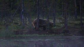 Grand ours brun au pâturage de bord de lacs banque de vidéos