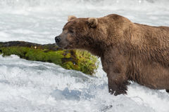 Grand ours brun d'Alaska Photo stock