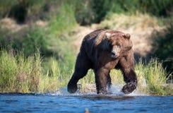 Grand ours brun d'Alaska Photos stock