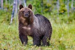 Grand ours brun dans la for?t d'?t? image stock