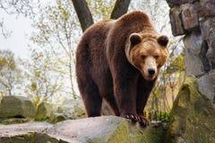 Grand ours brun dans un zoo photo libre de droits