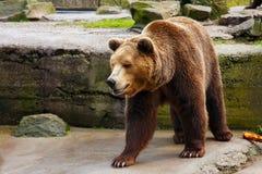 Grand ours brun dans un zoo image libre de droits