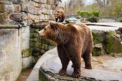 Grand ours brun dans un zoo photos stock