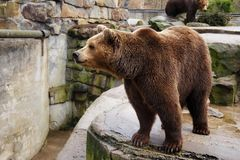Grand ours brun dans un zoo photo stock