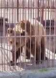 Grand ours brun dans une cage Images libres de droits