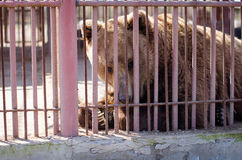 Grand ours brun dans une cage Photographie stock