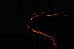 Grand ours brun dedans contre la lumière Photos libres de droits