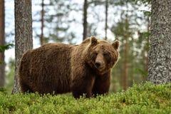 Grand ours brun masculin dans la forêt Photographie stock libre de droits
