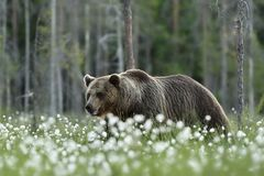 Grand ours brun masculin marchant en marais Photo libre de droits