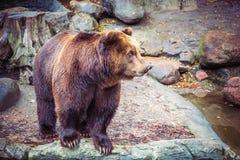 Grand ours brun sauvage dans la forêt sur la roche, animal dangereux à l'arrière-plan vert naturel image stock