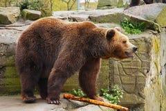 Grand ours de Brown images libres de droits