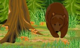 Grand ours de Brown dans les troncs de forêt d'automne des arbres à feuilles caduques et du sapin, mousses et herbes, chanterelle illustration libre de droits