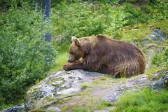 Grand ours de Brown mangeant des poissons Photo stock