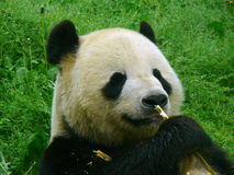 Grand ours panda adulte mangeant le bambou Photo libre de droits