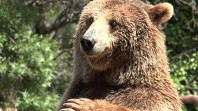 Grand ours sauvage de Brown banque de vidéos
