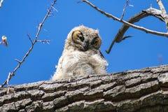 Grand Owl Baby Perched à cornes sur une branche images libres de droits