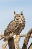 Grand Owl Calling Out à cornes Photo stock