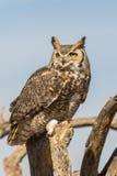 Grand Owl Close Up à cornes Photos libres de droits