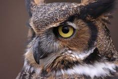 Grand Owl Eye à cornes Photographie stock