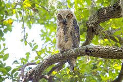 Grand Owl Juvenile Looking Down On à cornes un grand grand monde Photo stock