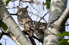 Grand Owl Making Direct Eye Contact à cornes Photo stock