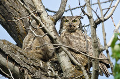 Grand Owl Making Direct Eye Contact à cornes avec vous Photographie stock libre de droits