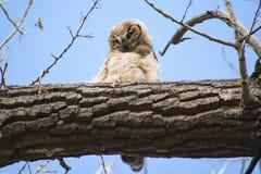 Grand Owl Nestling à cornes dans un arbre photo libre de droits