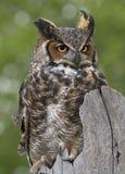 Grand Owl Perched à cornes sur la barrière Post Photo libre de droits