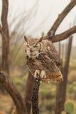 Grand Owl Perched Head On à cornes Photos libres de droits