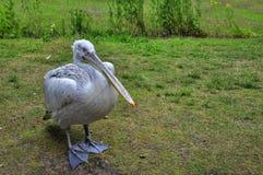 Grand pélican blanc - onocrotalu de Pelecanus Images libres de droits