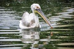 Grand pélican blanc - onocrotalus de Pelecanus dans le lac Images libres de droits