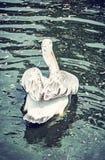 Grand pélican blanc - onocrotalus de Pelecanus, filtre bleu Images stock