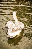 Grand pélican blanc - onocrotalus de Pelecanus, filtre jaune Photo stock