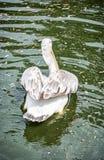 Grand pélican blanc - onocrotalus de Pelecanus, vue arrière Image stock
