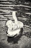 Grand pélican blanc - onocrotalus de Pelecanus, vue arrière, colorles Image libre de droits