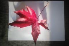 Grand palmatum d'Acer de feuille d'érable rouge sur le fond blanc images stock