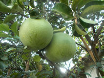 Grand pamplemousse à l'arbre de pamplemousse, pamplemousse Image stock