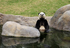Grand panda bear Royalty Free Stock Photography