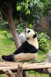 Grand panda bear Stock Photo